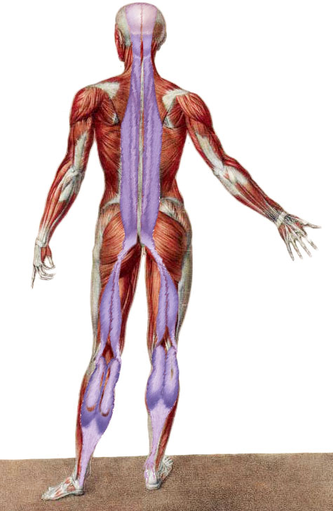 The Evidence Of Anatomy Trains Myofascial Meridians Fascial